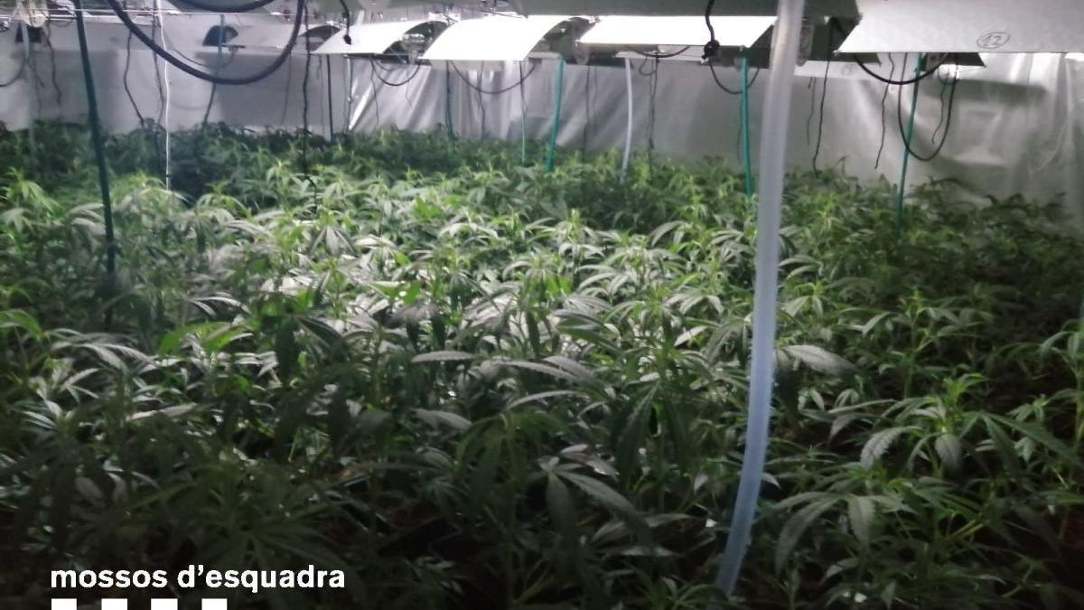 La plantació de marihuana desmatellada a la Bisbal