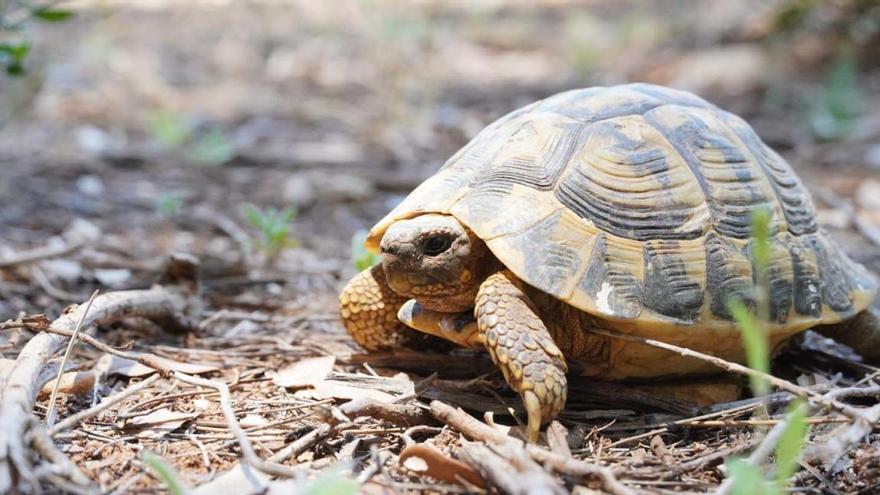 Liberados en Felanitx 217 ejemplares de tortuga mediterránea