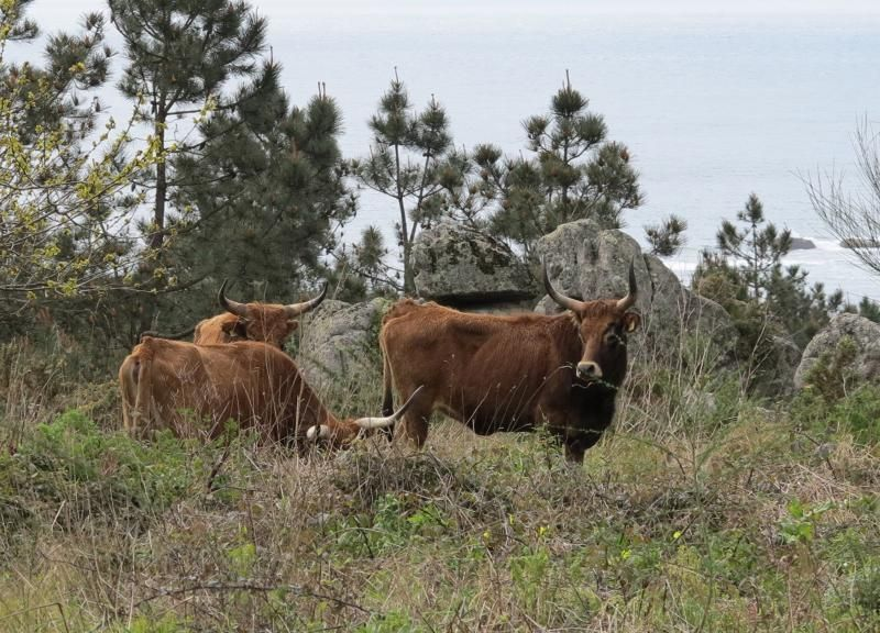 Vacas cachenas en San Vicente de O Grove.