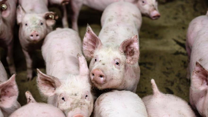 Científicos chinos alertan de una gripe porcina que podría transmitirse a humanos
