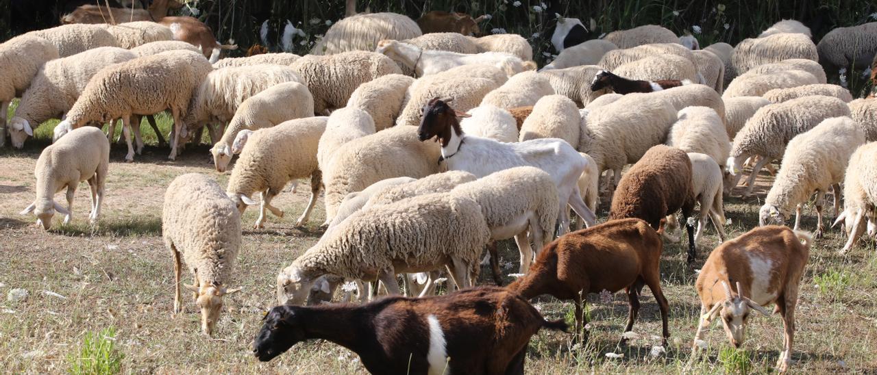 Imagen de un rebaño de ovejas y cabras en Sant Llorenç.