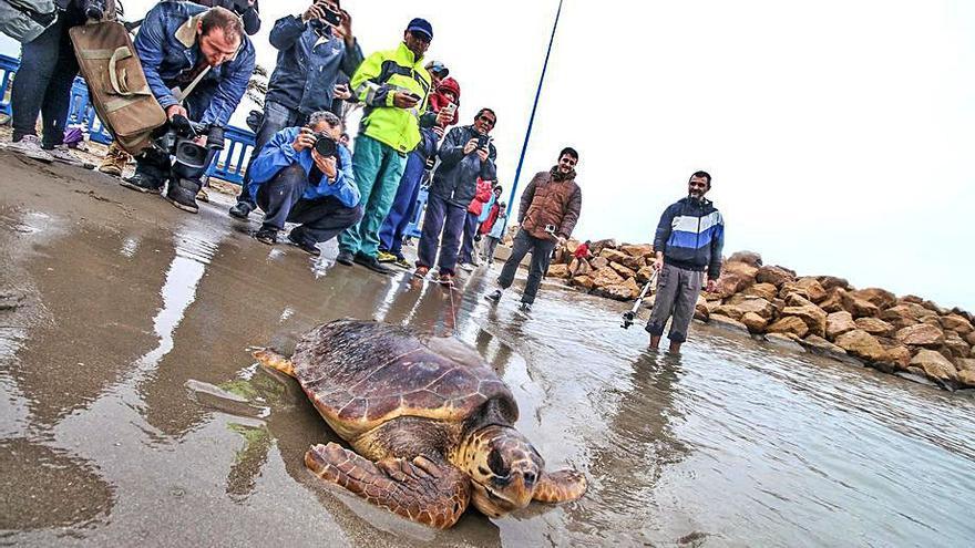 Torrevieja prepara sus playas para la posible llegada de tortugas