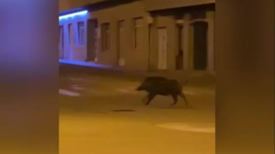 La escapada de un jabalí por el paseo de Panxón