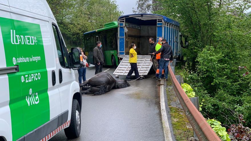 Un caballo muere tras un choque entre un autobús y una camioneta en San Tirso