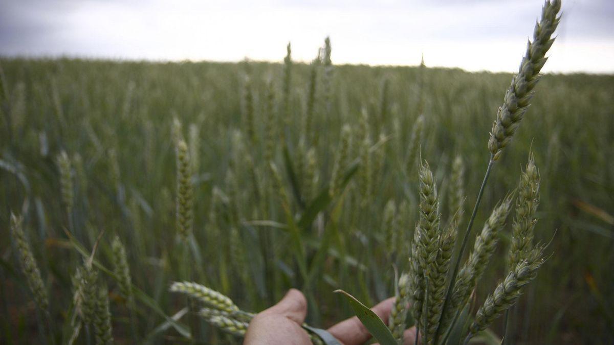 Campo de cereales en la provincia
