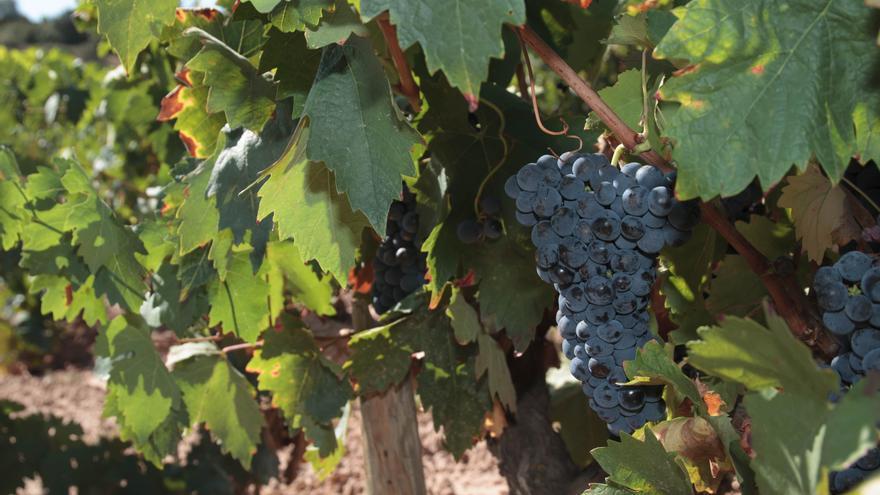 Agricultura celebra que el vino canario 'recupere' el mercado estadounidense