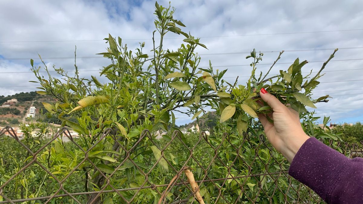 La granizada ha afectado a decenas de hectáreas de cultivo de la Plana Baixa