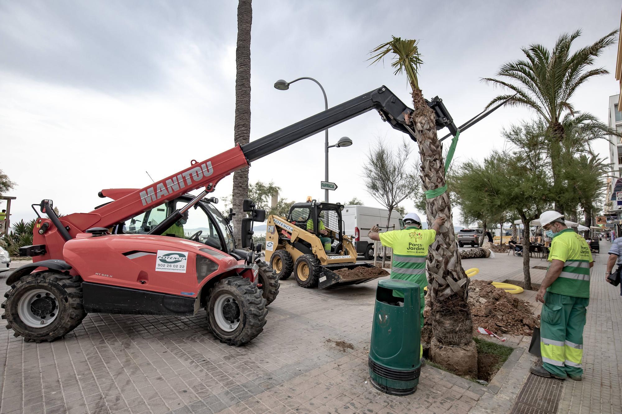 Cort repone con otras palmeras los ejemplares muertos por el picudo rojo