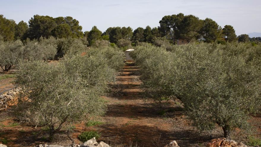 Detenido por envenenar los olivos de un vecino en Navarrés tras una disputa personal