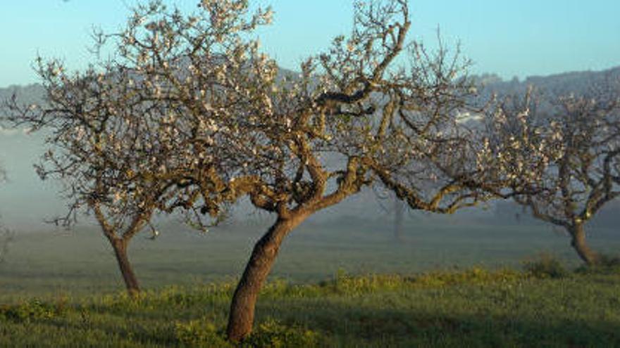 Detectan cuatro nuevos casos de xylella en Ibiza en apenas doce días