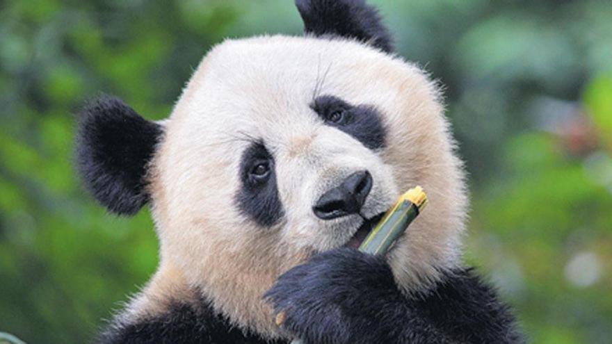 Mucho más que comida para osos panda