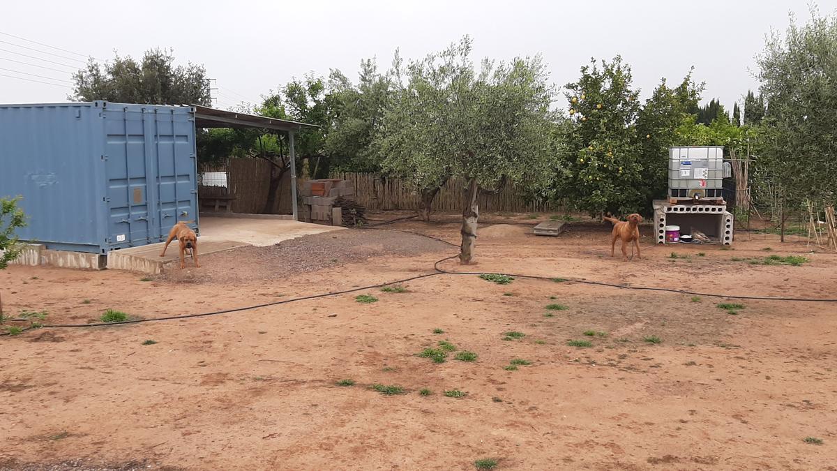 Imagen de los dos canes que este lunes atacaron a Néstor Campos y motivaron su hospitalización y que ayer estaban en una parcela vallada de Vila-real.