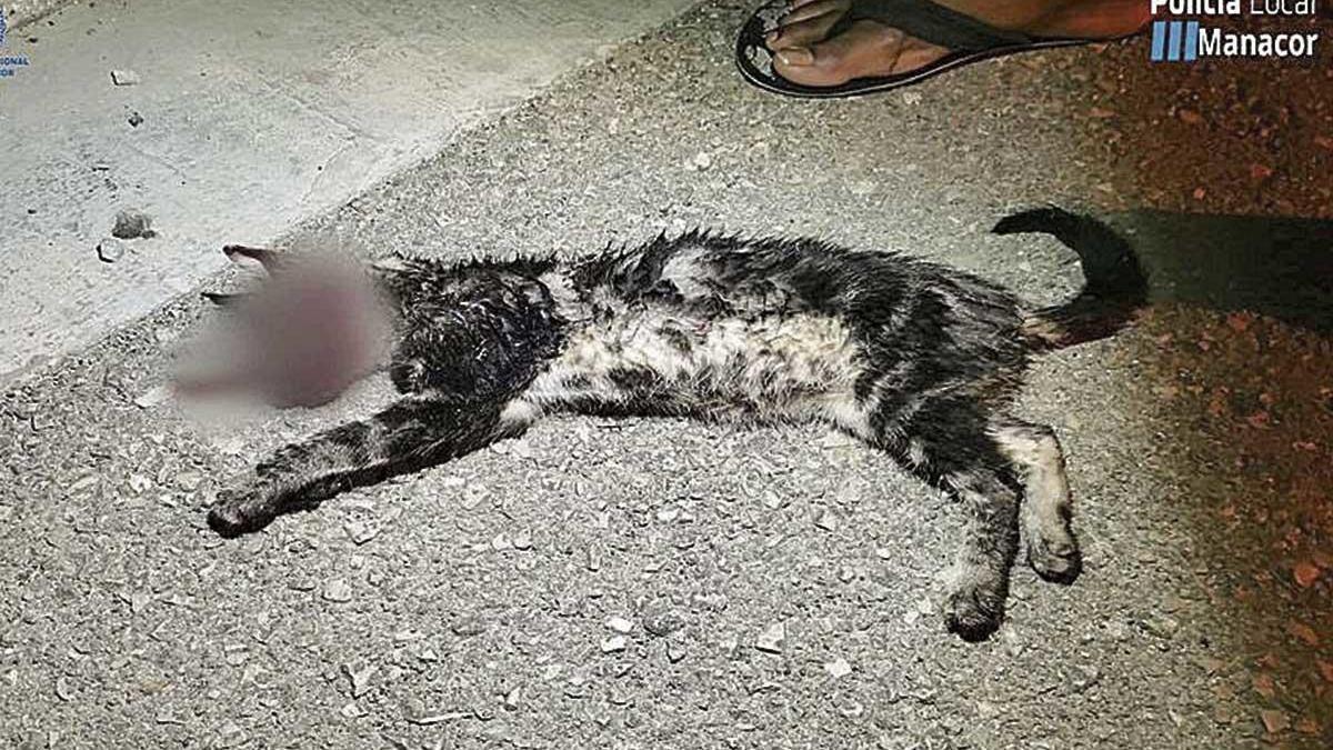 El cuerpo del gato 'Grisito' quedó destrozado.  foto:'