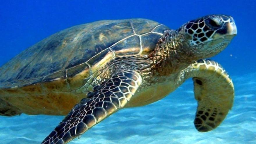 La Guardia Civil rescata una tortuga boba atrapada entre cuerdas y boyas en Playa Santiago