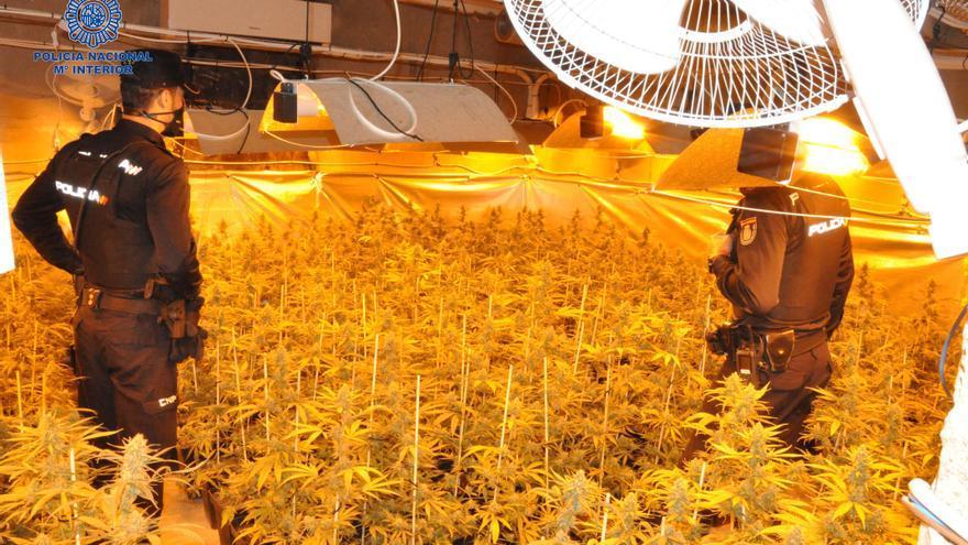 Detienen a un varón en Mérida por cultivar 304 plantas de marihuana en una nave