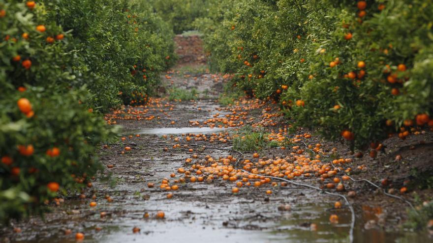 La pluja i el vent deixen pèrdues de més de 2 milions en cultius del Camp de Morvedre