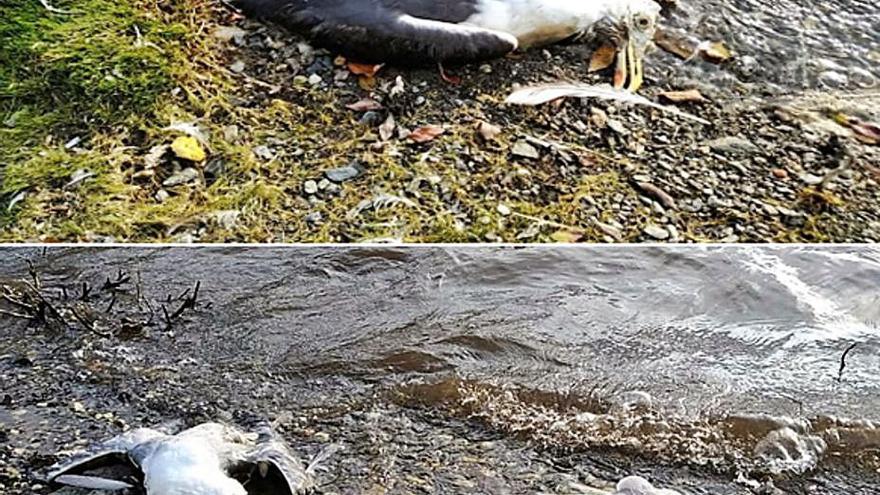 La Xunta traslada aves halladas en Vilagudín a Oleiros e investiga si sufrieron intoxicación