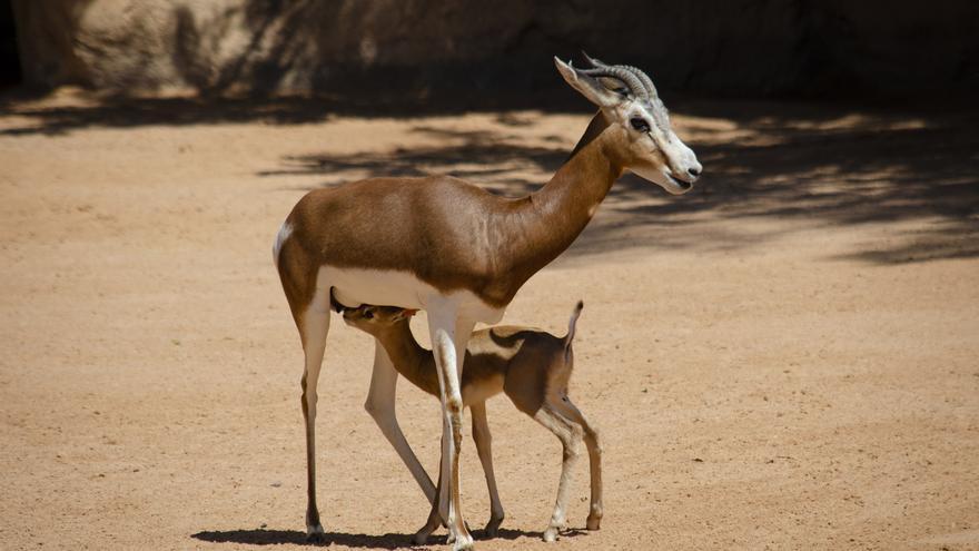 Nace en Bioparc una especie que salvó de la extinción un conservacionista español