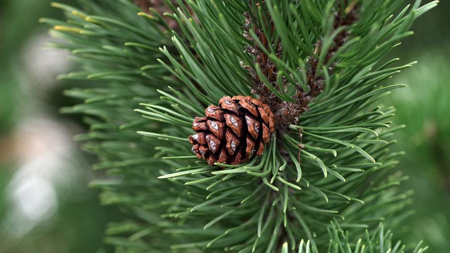 El pino desbanca al eucalipto como futuro producto estrella del sector de la madera