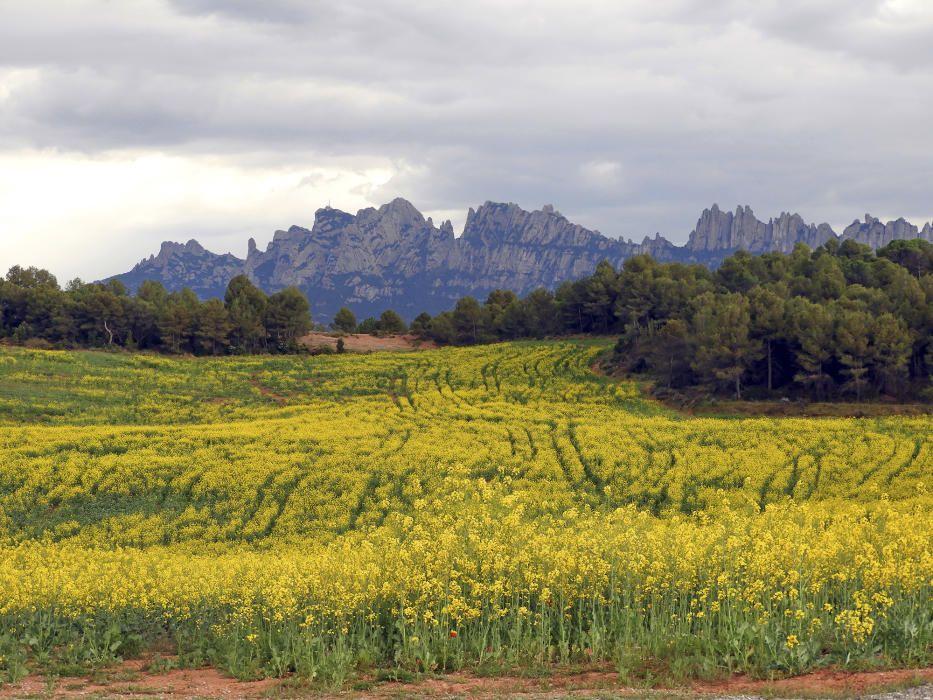 Colza. Aquest camp conreat de colza (Brassica napus) del Mas Brunet, ubicat a prop de la carretera de Manresa a can Maçana, produirà farratge, oli vegetal i biodièsel. Ara, amb els pètals grocs, la planta ens engalana Montserrat.