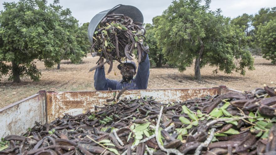 El algarrobo ha resurgido como uno de los cultivos rentables en los últimos años para obtener garrofín, un preciado aditivo alimenticio
