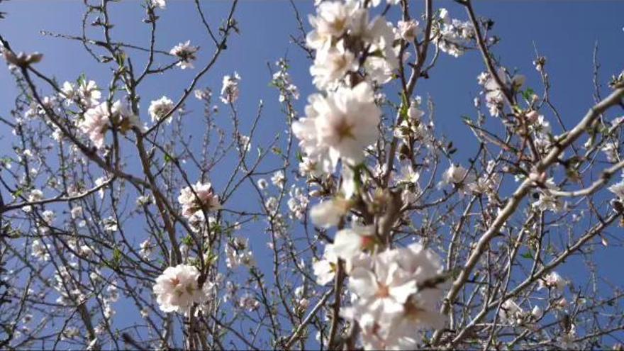 Mallorcas Mandelblüte in voller Pracht