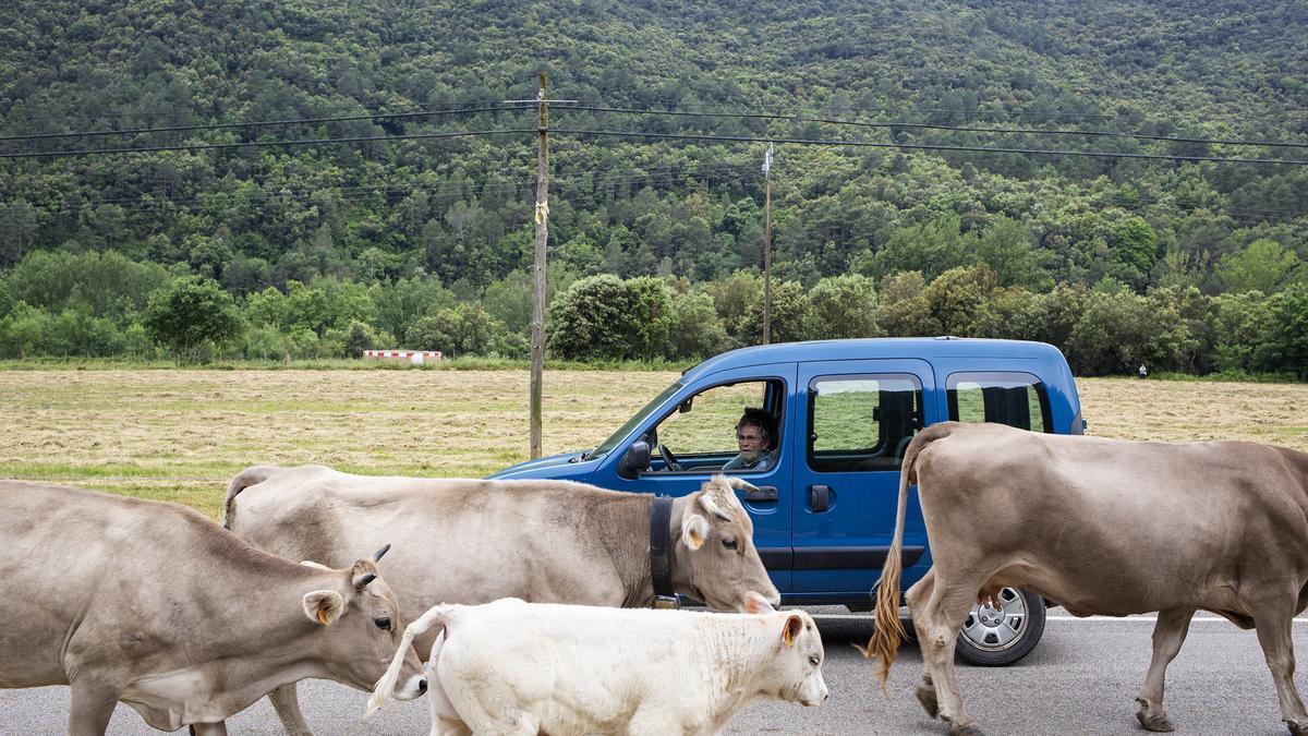 L'únic ramat transhumant de l'Empordà ja és a Llanars