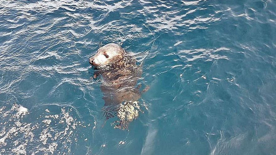 Liberan en la zona de Cabo Peñas una cría de foca gris recogida en Llanes