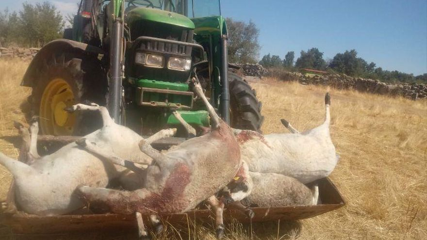 Ovejas muertas tras un ataque de lobos