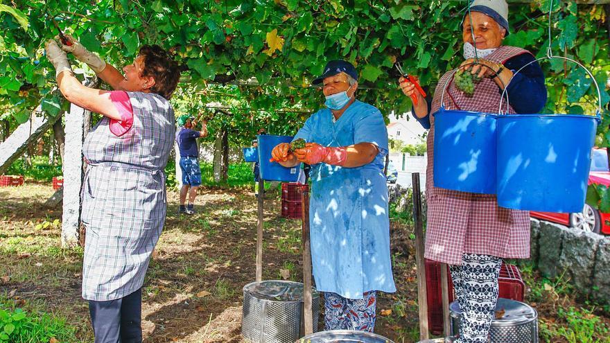 Cuenta atrás en la vendimia tras alcanzar los 30 millones de kilos de uva