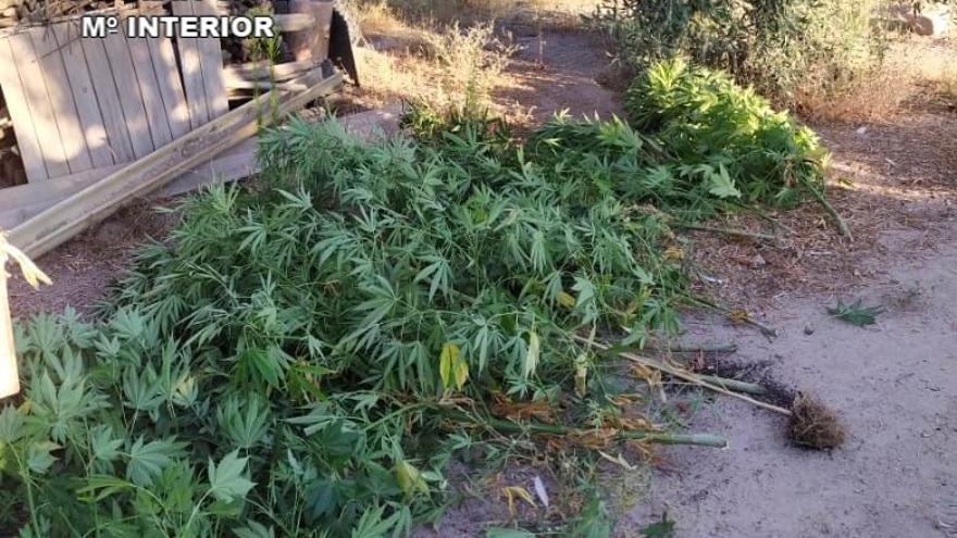 Dos detenidos en Torre de Santa María por cultivar 43 plantas de marihuana