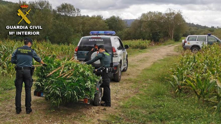 Intervienen dos plantaciones de marihuana ocultas entre maíz en Barro y Caldas
