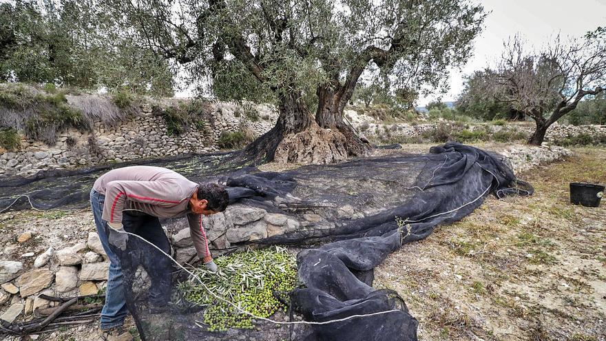 El plan de regulación para el aceite de oliva pone en pie de guerra al sector en la provincia