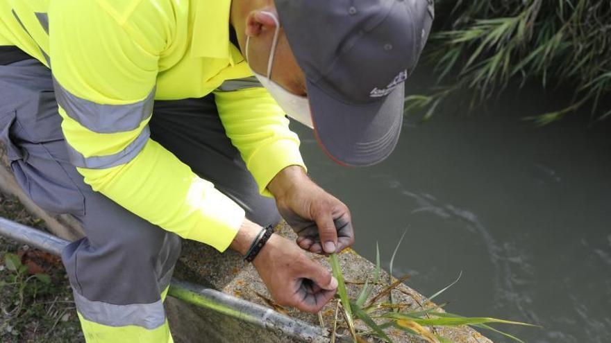 València es pionera en el control del mosquito tigre al criar insectos y esterilizarlos
