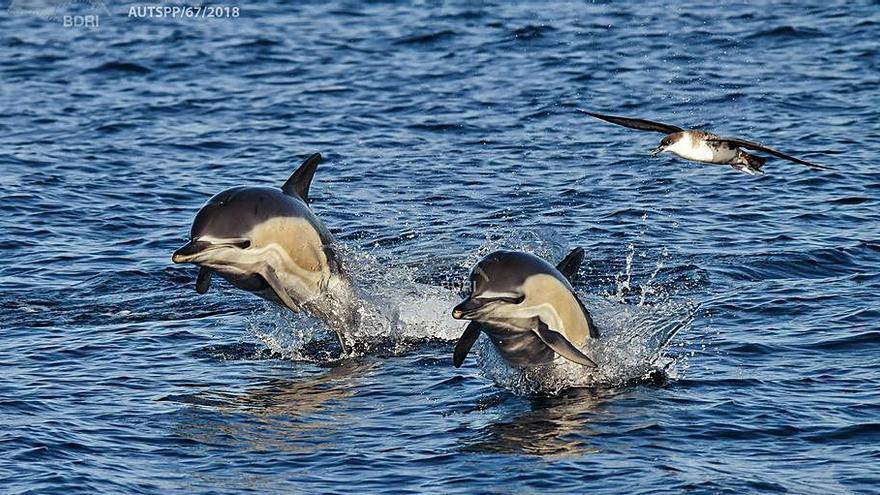 Otro ejército de delfines comunes en aguas gallegas