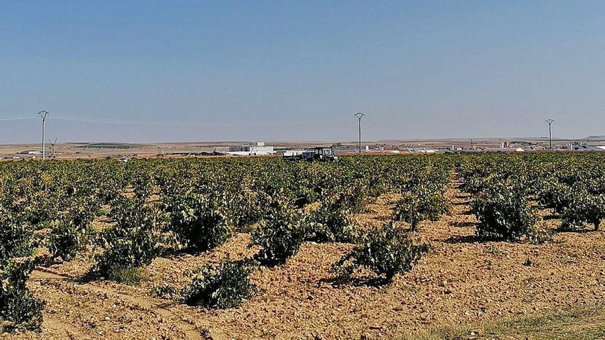 Los viticultores de Toro: la uva sube, el beneficio baja