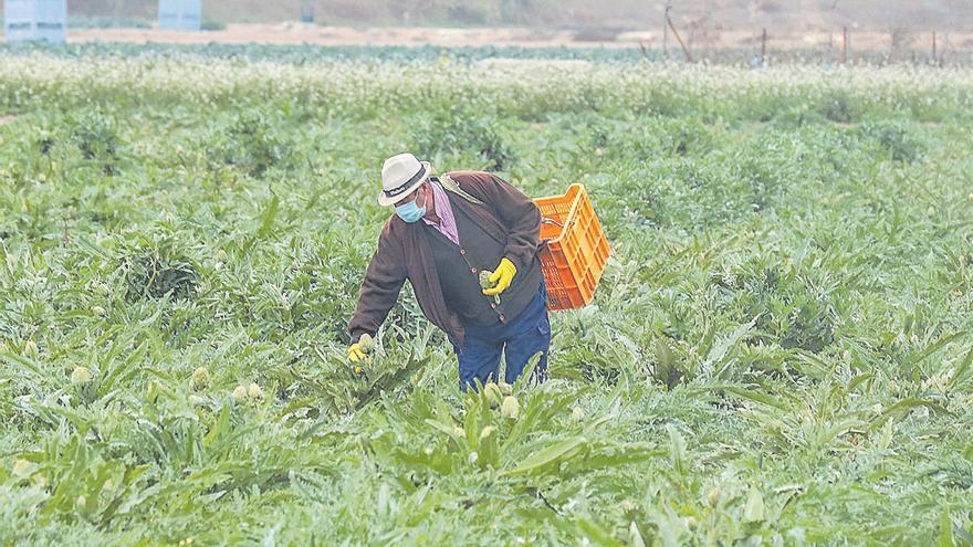 El sector de la alcachofa urge ayudas tras perder 9 millones con la DANA y carecer de seguro el 90% de regantes