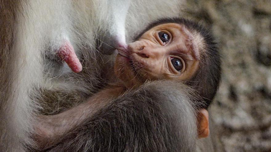 """Nace en Bioparc València una cría de mangabey, un primate en """"grave peligro de extinción"""""""