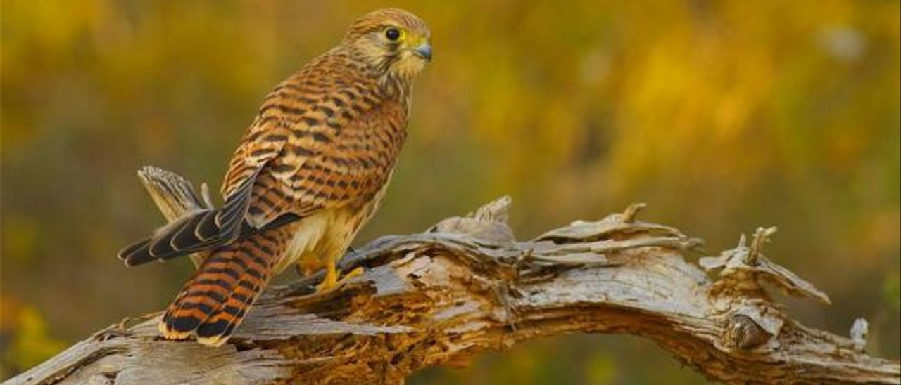Imagen del cernícalo común, una ave rapaz de la familia de los halcones y que habita en muchos huertos de palmeras ilicitanos.