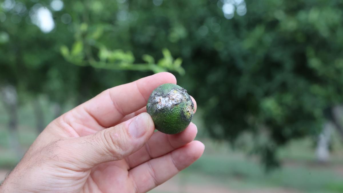 Imagen de los daños que la plaga causa en la fruta.