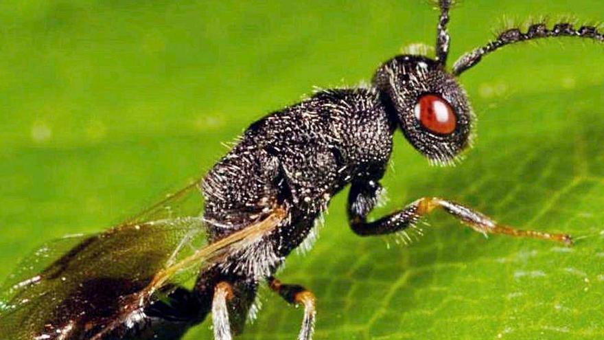 Otra plaga imparable: la avispilla que ataca los almendros se extiende ya por cinco comarcas