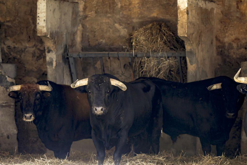 Stierkampf: Das sind die Tiere, die am Freitag sterben sollen