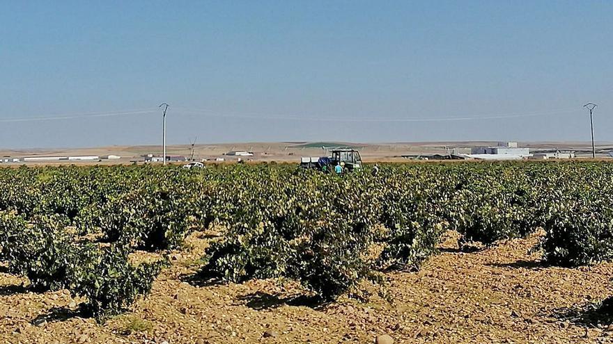 La DO Toro encara la recta final de la vendimia y rebasa ya los 19 millones de kilos de uva
