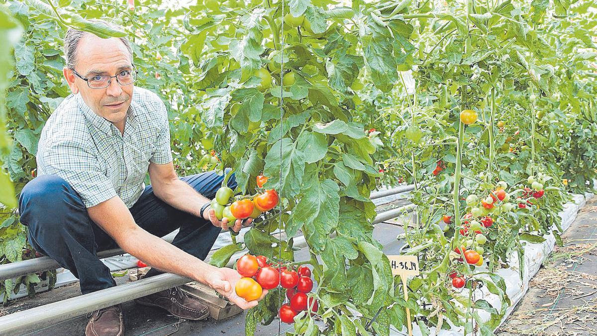 Carlos Baixauli, sujeta nuevas variedades de tomates que investiga en la Fundación Cajamar.