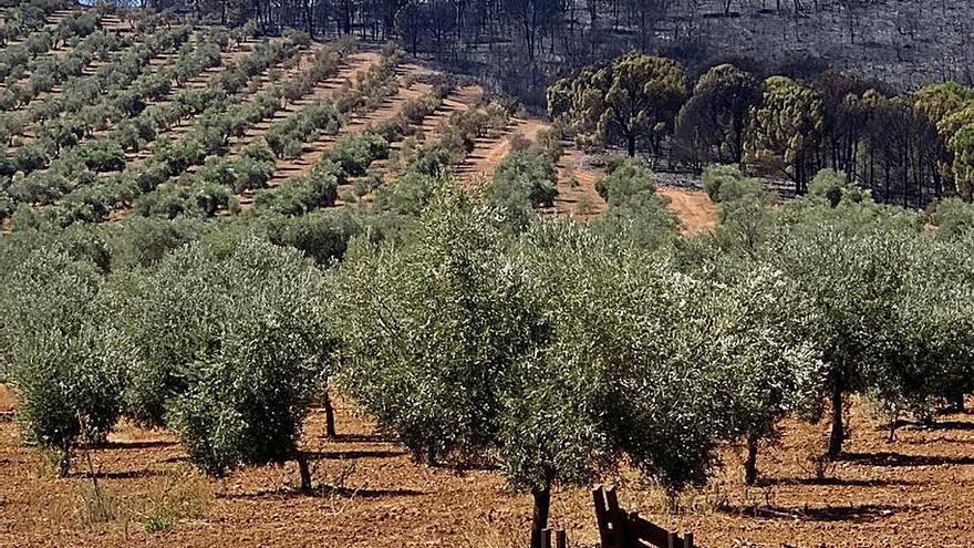 Defienden en Los Pedroches el olivar de sierra como barrera antiincendios