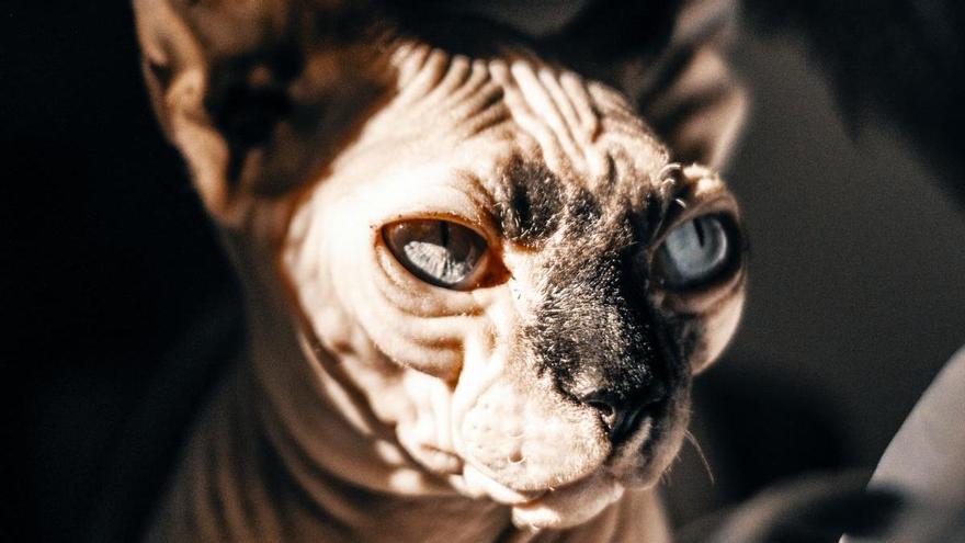 Estas son las cinco razas de gatos más agresivas