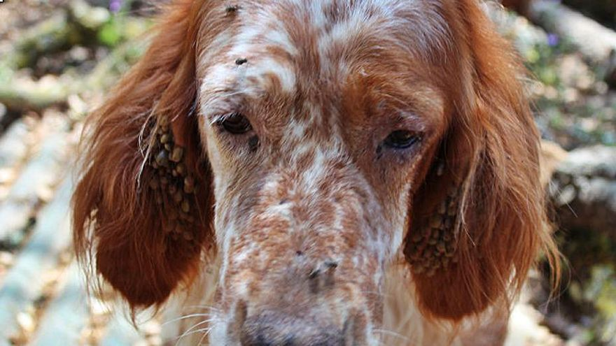 Investiguen quatre persones per maltractar un gos a Riells i Viabrea