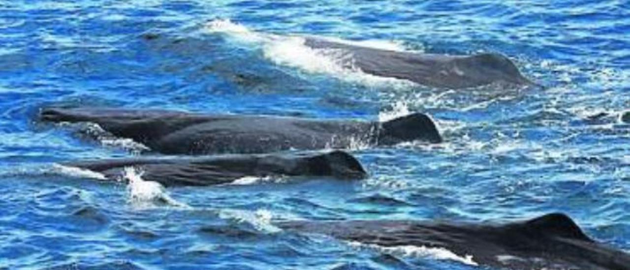 Cachalotes en aguas de Canarias.