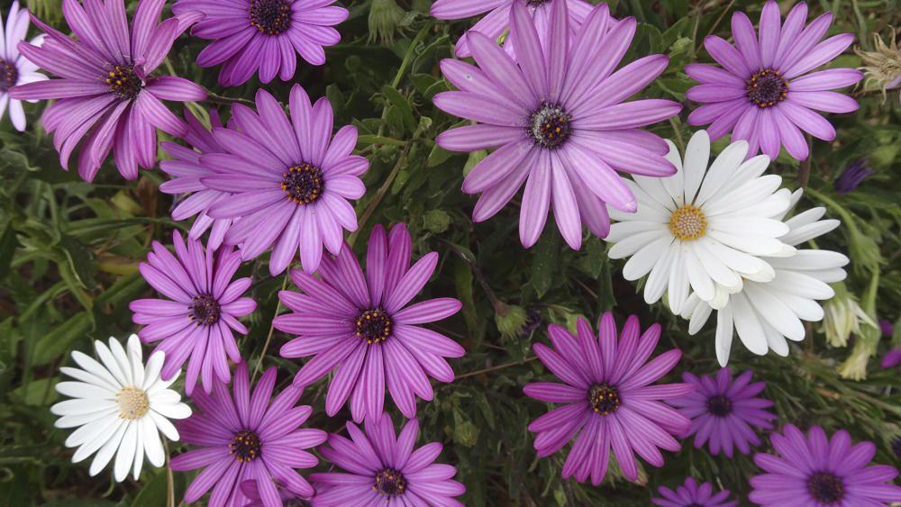 Margarides. Ens ha arribat aquesta bonica fotografia, en què podem observar margarides de diferents tons violetes i unes altres de ben blanques. Totes les margarides es caracteritzen per tenir un capítol floral.
