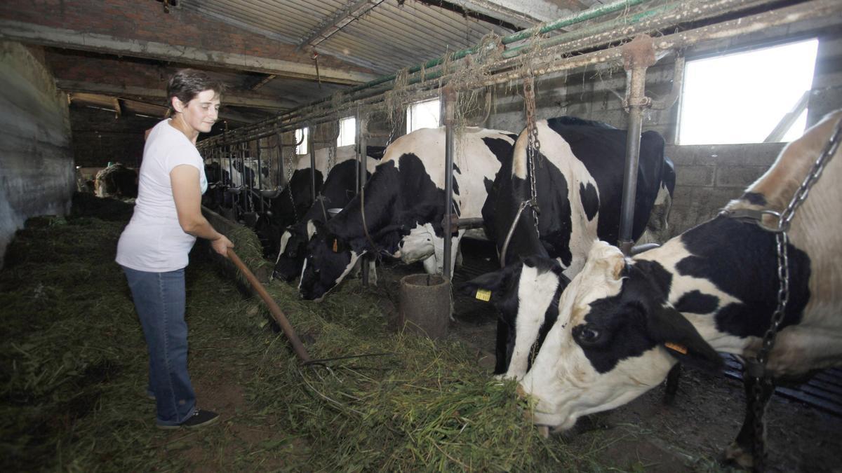 Una ganadera gallega da de comer a sus vacas en una explotación de Lalín